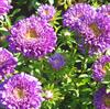 Asters, Sommer-, 'Deep Blue' <br><i>Callistephus chinensis </i>