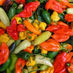Chili \'Asiatisk Mix\'<br><i>Capsicum</i>