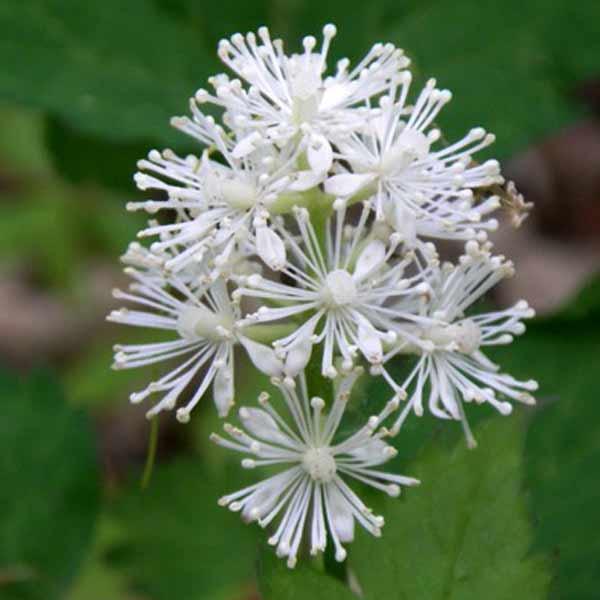 violfrøstjerne hvid
