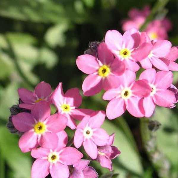 forglemmigej blomster søndersø