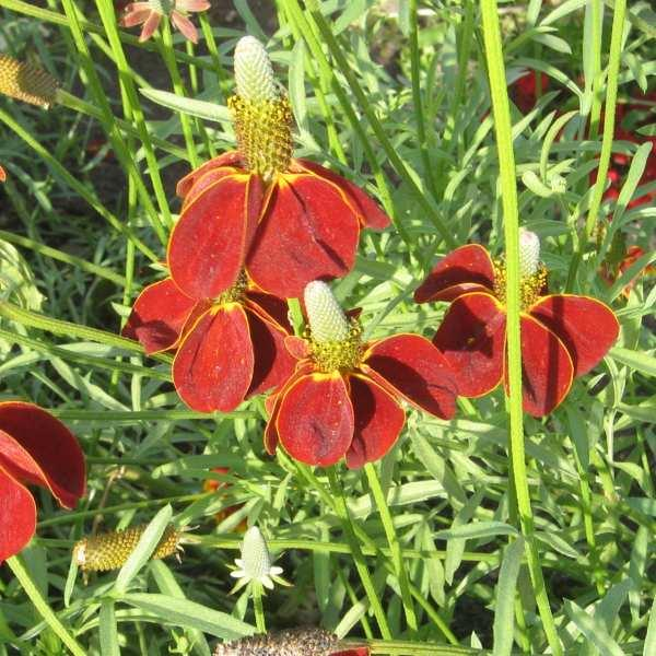 Like watch ratibida columnifera red midget that