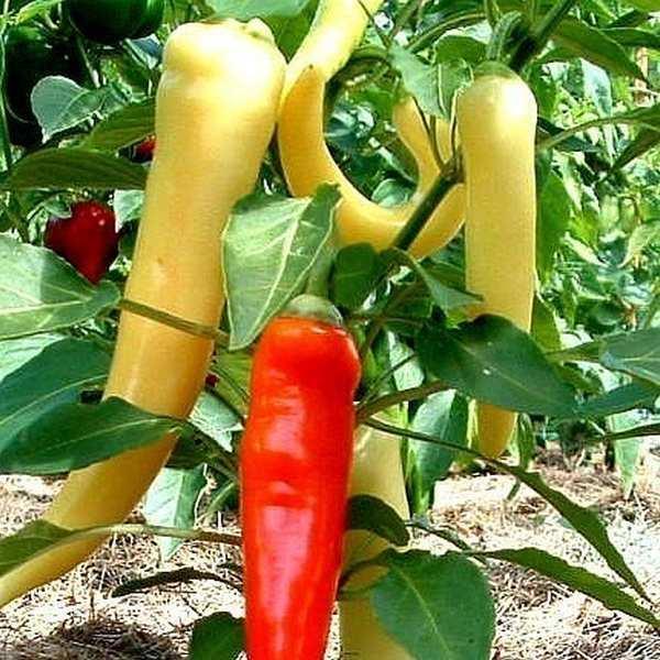 almindelig tomat vægt